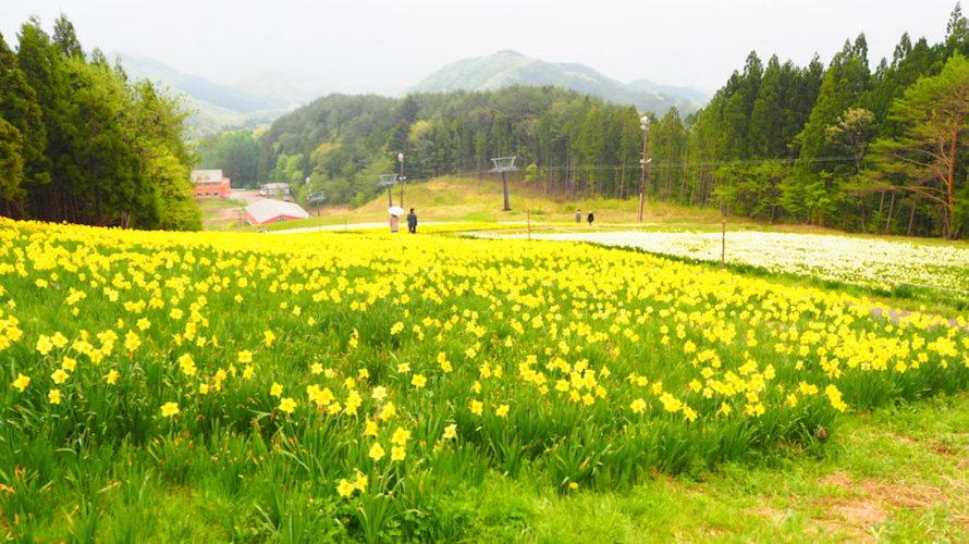 ノルンみなかみフラワーガーデンは北関東最大級のスイセン園!【群馬】おすすめスポット