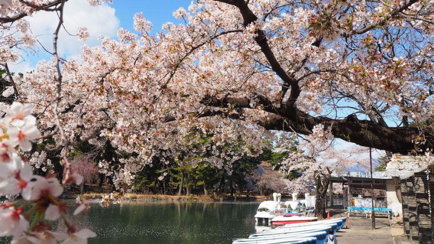 敷島公園のお花見は桜と松林の鮮やかなコントラストが綺麗【群馬】おすすめイベント