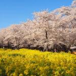 赤城南面千本桜は約1000本の桜が咲き誇る関東屈指のお花見スポット!【群馬】おすすめスポット
